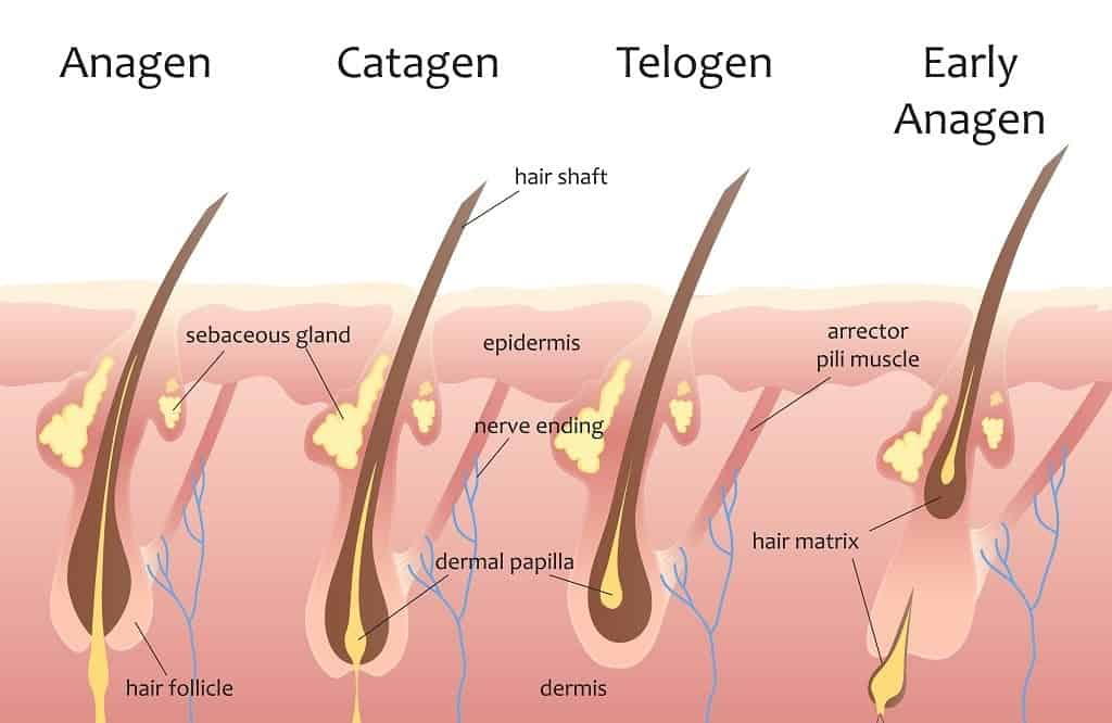 three phases of beard hair growth